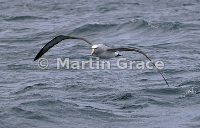 Buller's Mollymawk (Buller's Albatross) (Thalassarche bulleri) in flight, Stewart/Rakiura & Ulva Islands, South Island, New Z...