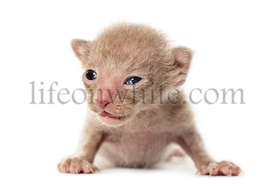 New born Peterbald kitten, cat, isolated on white