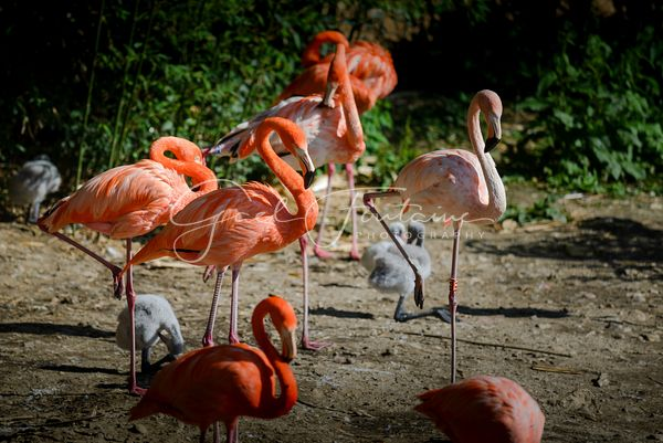Flamants roses / Flamants de Cuba