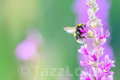 Bumblebee collecting nectar from pink flowers on summer meadow