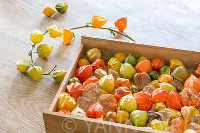 Chinese lantern, seed cases on a wooden background