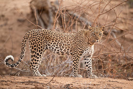 Adolescent Leopard, Namibia