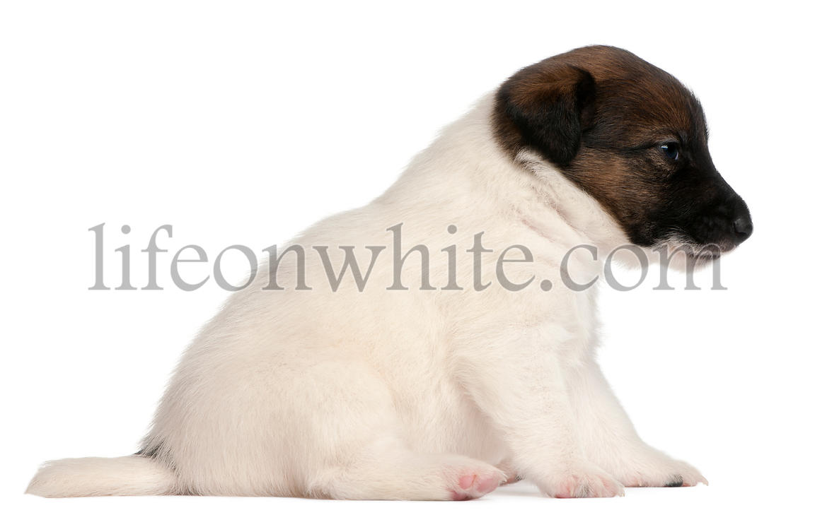Fox terrier puppy, 1 month old, sitting in front of white background