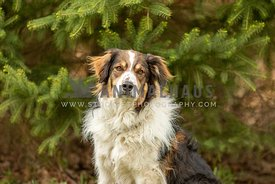 An English shepherd dog in front of an evergreen tree