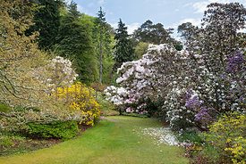 Flowering Rhododendron Loderi, Rhododendron 'Sir Charles Lemon', Azalea luteum etc below America area