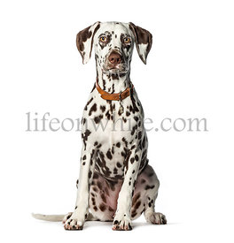 Dalmatian sitting in front of white background