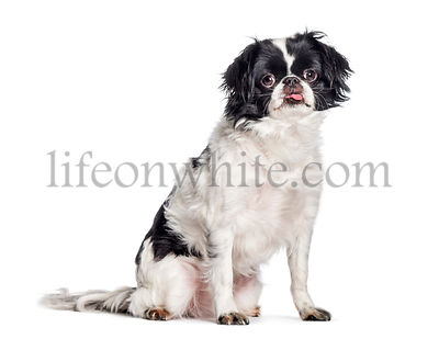 Japanese Chin, Japanese Spaniel sitting in front of white background