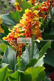 Canna reine Charlotte, Summer bulbs