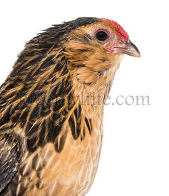 Barbu de Grubbe chicken against white background