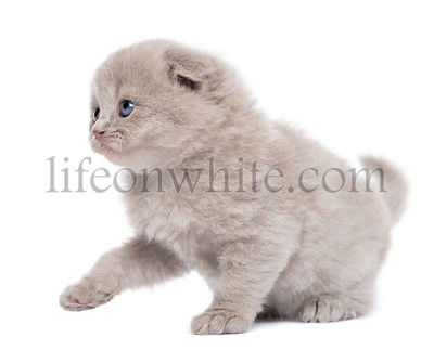Side view of a Highland fold kitten pawing up, isolated on white