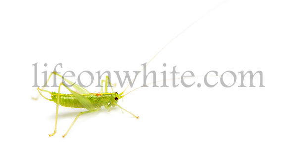 Meconema, isolated on white