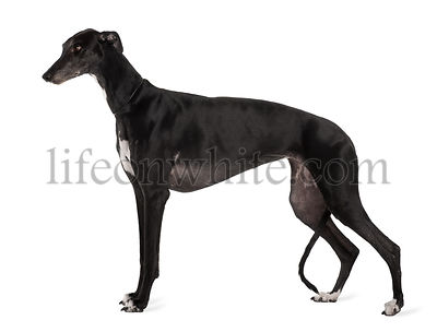 Greyhound dog, 5 years old, standing in front of white background