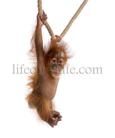 Baby Sumatran Orangutan (4 months old), hanging on a rope.