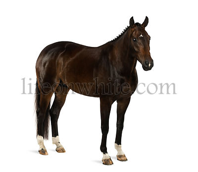 KWPN - Dutch Warmblood, 3 years old - Equus ferus caballus