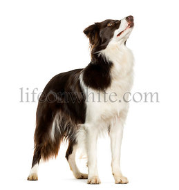Looking up Border Collie standing against white background