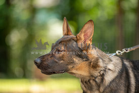 side view headshot of german shepard on leash looking angry