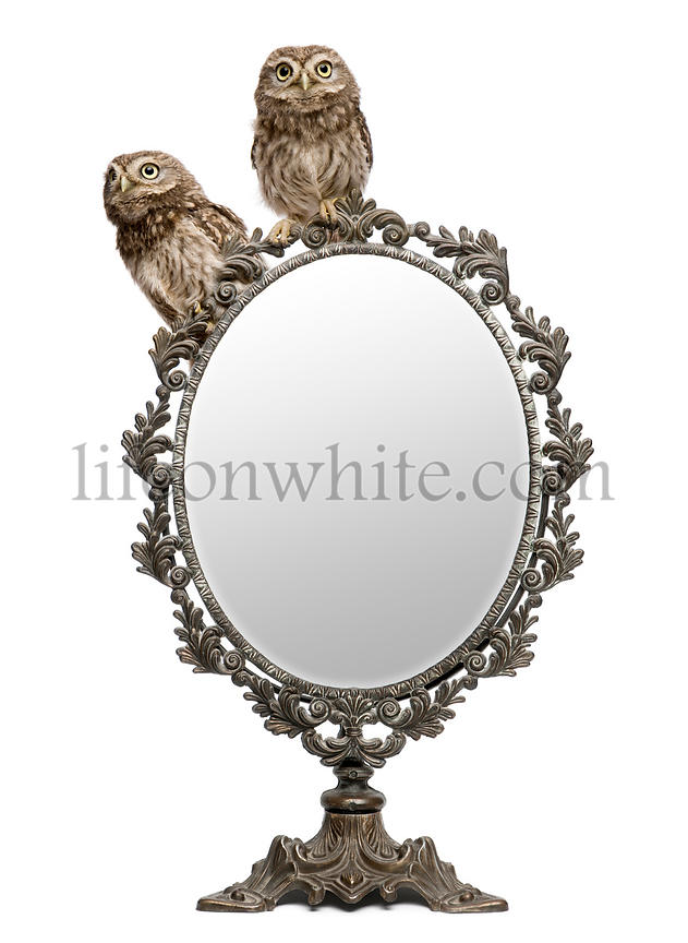 Little Owls, 50 days old, Athene noctua, in front of a white background with a mirror