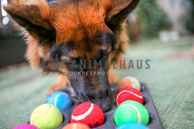 German Shepherd using a homemade treat toy
