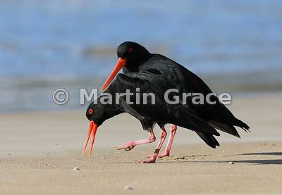 Two dark morph Variable Oystercatchers (Haematopus unicolor) displaying, Otama Beach, North Island, New Zealand
