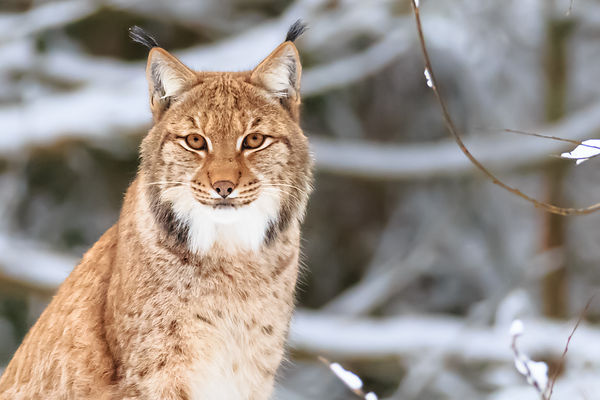 Eurasian Lynx in Bavarian Forest National Park