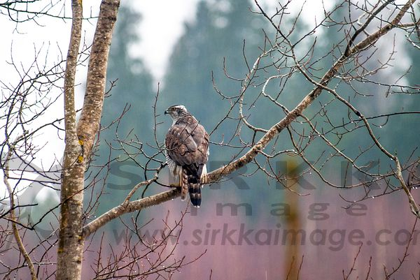 Goshawk in rain