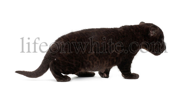 Jaguar cub, 2 months old, Panthera onca, walking against white background
