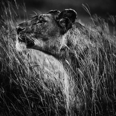 00465-Lion_Laurent_Baheux