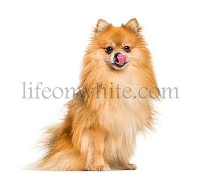 Pomeranian, 2 years old, sitting in front of white background