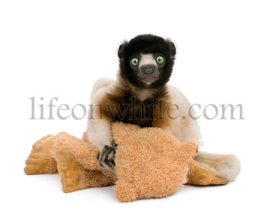 Young Crowned Sifaka holding teddy bear, Propithecus Coronatus, 1 year old, sitting against white background