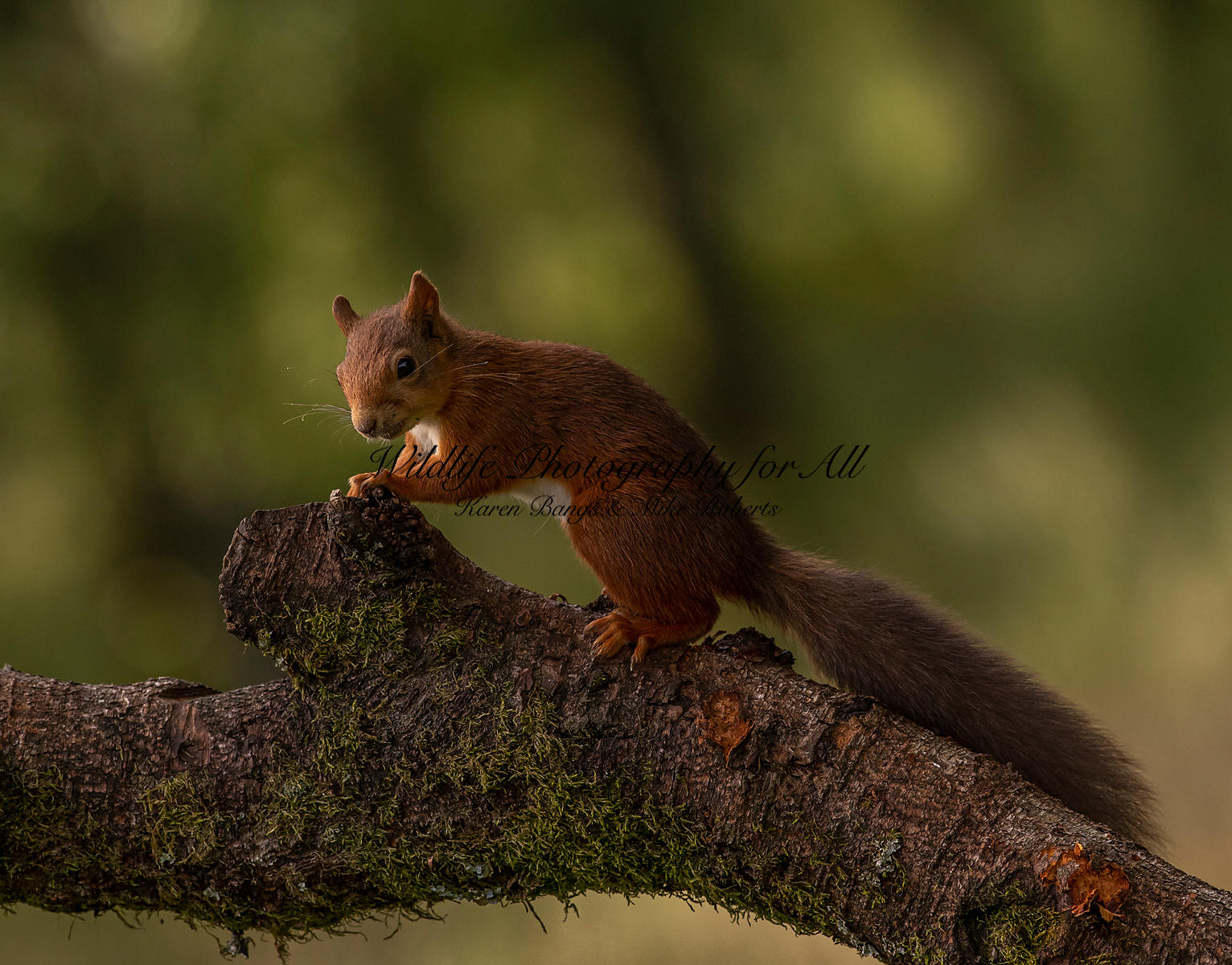 Red Squirrel - Mike Roberts