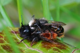 Closeup of a copulation of the horned orchard mason bee , Osmia cornuta in the garden