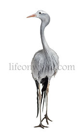 Blue Crane, Grus paradisea, also known as the Stanley crane and the paradise crane against white background