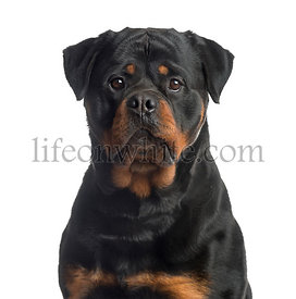 Rottweiler looking at the camera, isolated on white