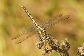 Closeup on a female the small pincertail or green-eyed hook-tailed dragonfly, Onychogomphus forcipatus in Gard, France