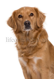 Nova Scotia Duck-Tolling Retriever, 5 years old, in front of white background