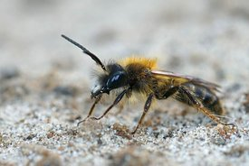 Closeup of a male of the red tawny mining bee, Andrena fulva with it's typical jaw hook teeth
