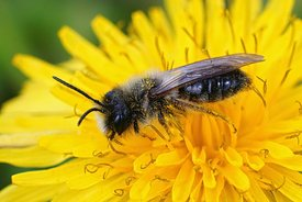 Closeup of the male of the grey-backed mining bee, Andrena vaga on a yellow flower of dandelion , Taraxacum officinale