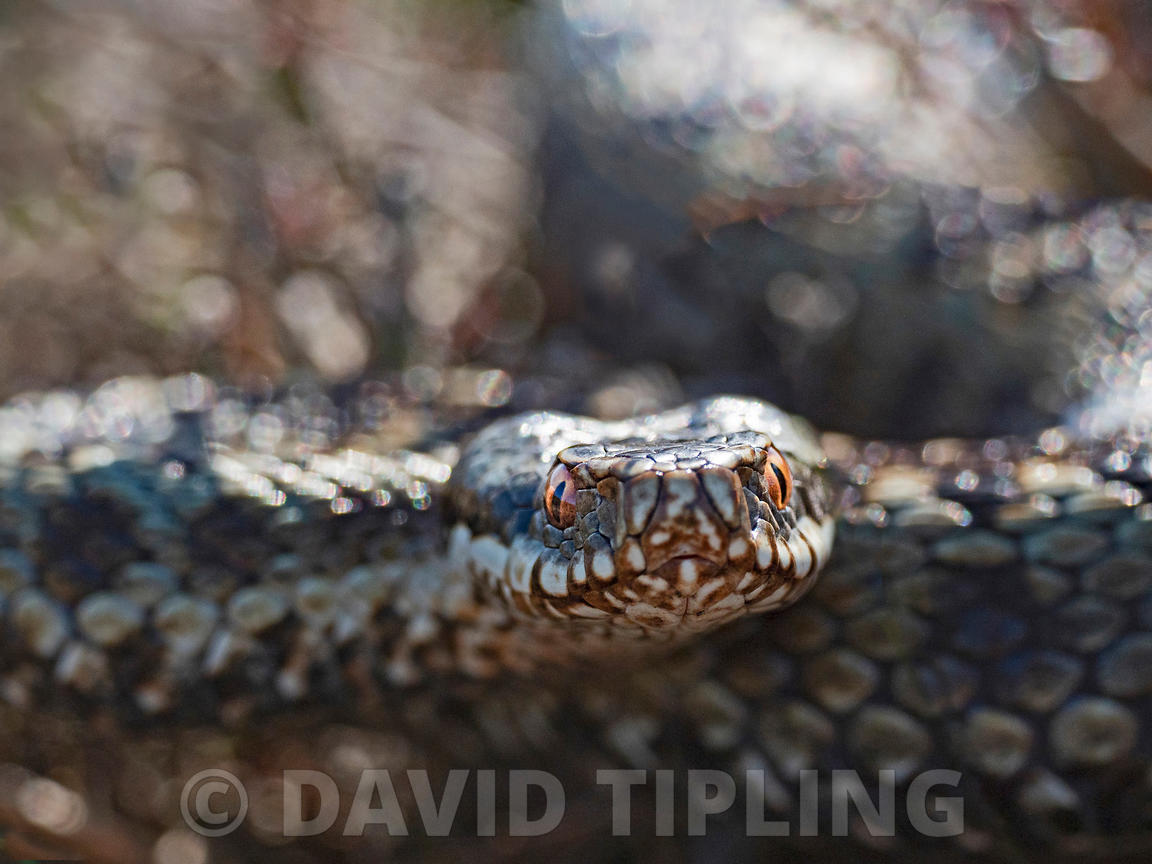 Common European Adder Vipera berus male warming up in sun trap on heath Holt North Norfolk April