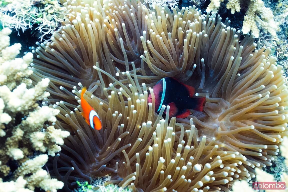 Close up of clownfish and anemone, Bohol, Philippines