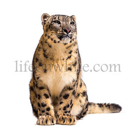 Snow leopard, Panthera uncia, also known as the ounce sitiing against white background