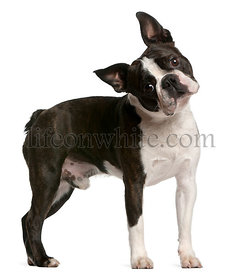 Boston Terrier, 1 year old, standing in front of white background