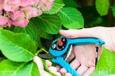 Réalisation d'une bouture d'Hortensia ∞ Cutting of hydrangea in a garden