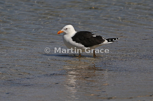 Southern Black-Backed Gull (Larus dominicanus dominicanus) walking in shallow water at low tide on the shore of Tiritiri Mata...