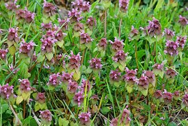 An aggregation of purple bumblebee flowers or red dead-nettle,  Lamium purpureum in the field