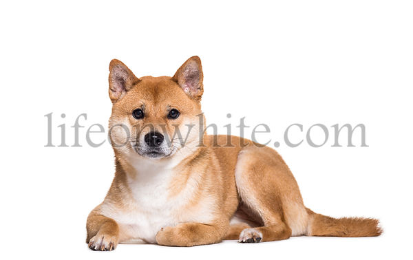 Shiba Inu lying on front against white background