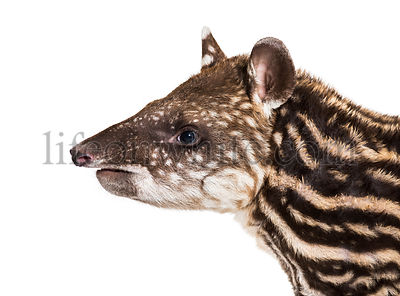 Month old Brazilian tapir in front of white background