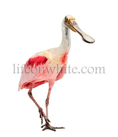 Roseate spoonbill standing, isolated on white