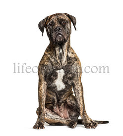 Bullmastiff sitting against white background