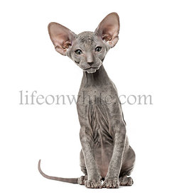 Peterbald kitten looking at he camera, cat, sitting
