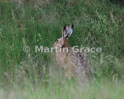 European Brown Hare (Lepus europaeus) in very long meadow grass, Cairngorm National Park, Scotland